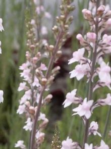 Linaria purpurea 'Canon J. Went' (vlasleeuwebek)