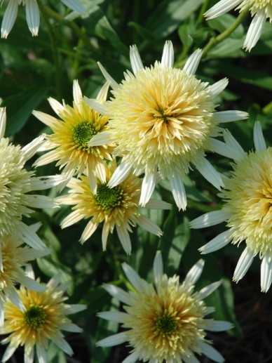 Echinacea 'Buttercream' - Zonnehoed