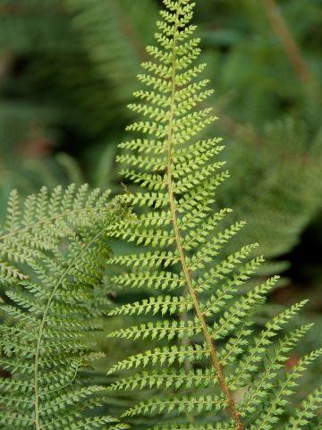 Polystichum setiferum 'Plumoso-densum' - Zachte Naaldvaren