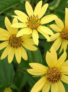 Helianthus 'Lemon Queen' (Zonnebloem)