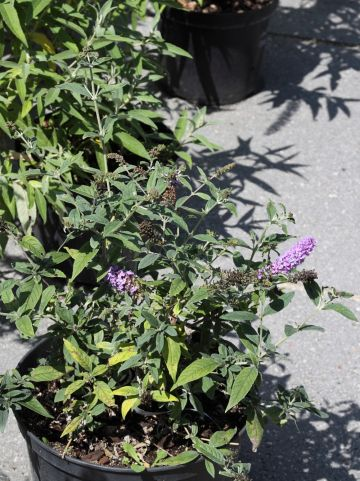 Buddleja 'Lilac Chip' - Vlinderstruik