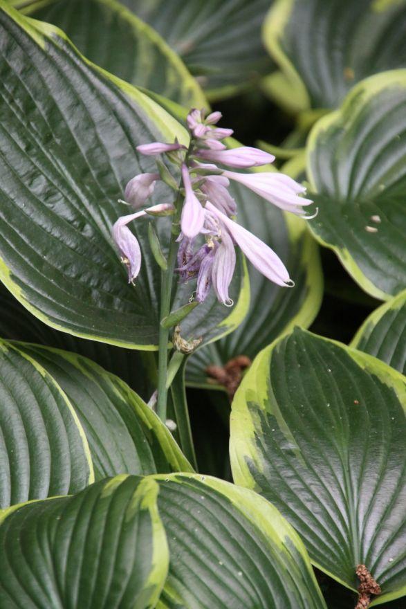 Hosta fortunei 'Aureomarginata' (Hartlelie)