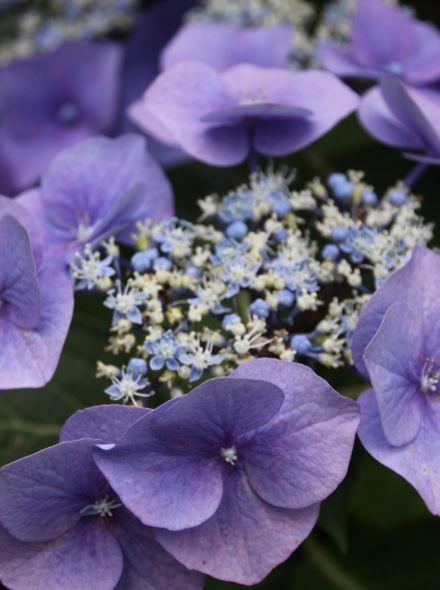 Hydrangea serrata Blue Bird (Blauwe Japanse berghortensia)