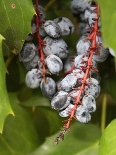 Mahonia bealei (Mahonia japonica 'Bealei') -  Mahoniestruik, mahonia