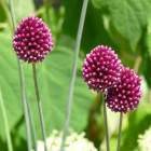 Allium sphaerocephalon subsp. Sphaerocephalon (Sierui, Trommelstokjes, Kalklook, Kogelook)