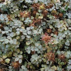 Acaena buchananii - Stekelnootje