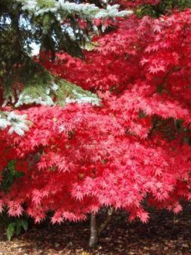 Acer palmatum 'Fireglow' - Japanse esdoorn
