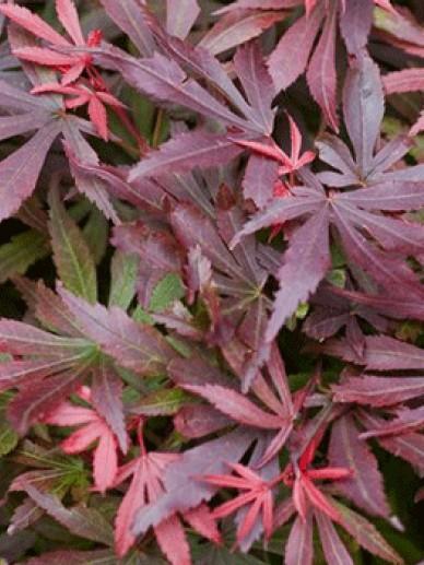 Acer palmatum 'Shaina' - Japanse esdoorn