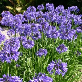 Agapanthus Africanus Big Blue (blauwe Afrikaanse Lelie, 7,5 liter pot, blaue Schmucklilien, Blue Lily of the Nile)