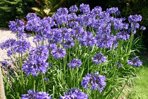 Agapanthus Africanus Blue Storm (blauwe Afrikaanse Lelie, blaue Schmucklilien, Blue Lily of the Nile)