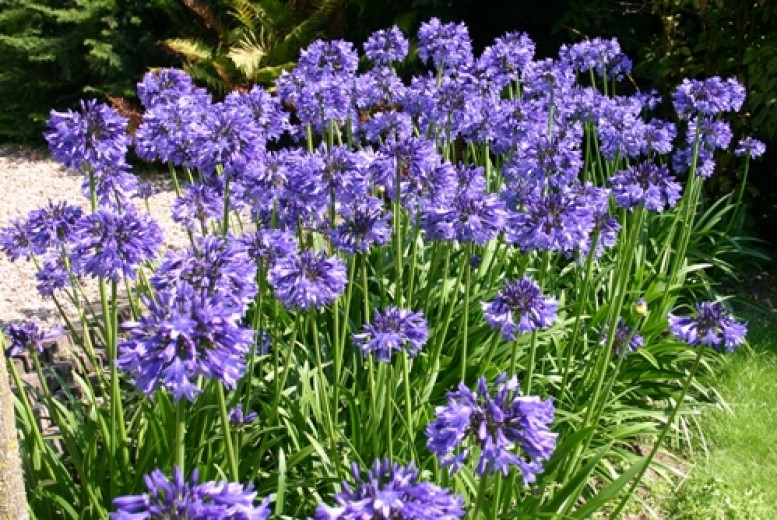 Agapanthus Africanus Big Blue (blauwe Afrikaanse Lelie, 7,5 liter pot, blaue Schmucklilien, Blue Lily of the Nile)