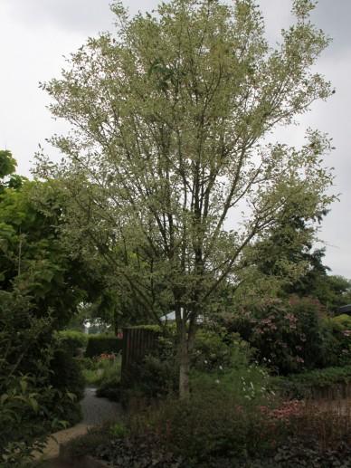 Fraxinus pennsylvanica 'Variegata' - Es, Amerikaanse es