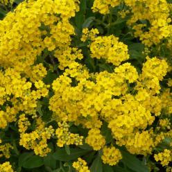 Alyssum saxatile - Rotsschildzaad