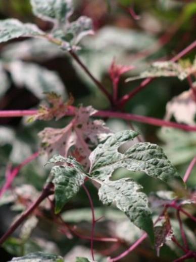 Ampelopsis glandulosa 'Elegans' -  Bontbladige wingerd
