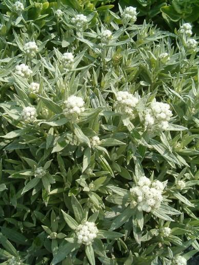 Anaphalis triplinervis 'Sommerschnee' - Siberisch edelweiss, Witte knoop