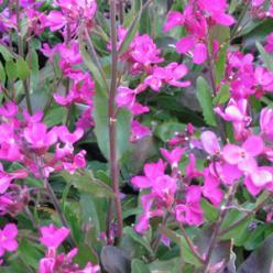 Arabis blepharophylla - Rijstebrei, scheefkelk