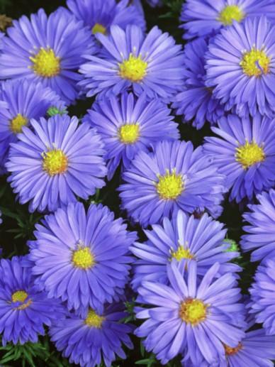 Aster 'Lady in Blue' - Herfstaster