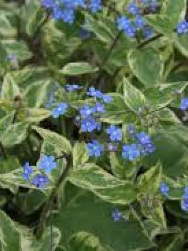 Brunnera macrophylla 'Hadspen Cream' - Kaukasisch Vergeet-mij-nietje