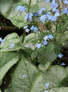 Brunnera macrophylla 'Looking Glass' (Kaukasisch vergeet-mij-nietje)