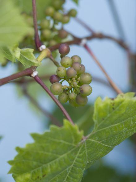 Vitis vinifera (Witte druif)