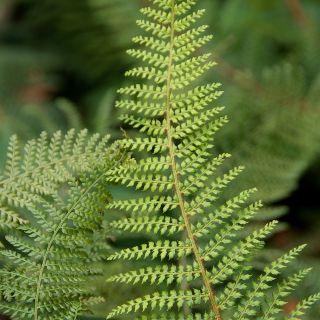 Polystichum setiferum 'Plumoso-densum' (Zachte Naaldvaren, Zachte niervaren, Broedvaren)