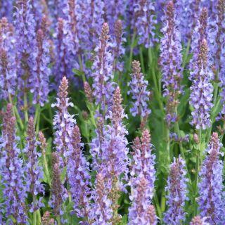 Salvia nemorosa 'Blauhugel' (Salie, Bossalie)