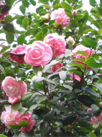Camellia japonica - Camellia, Japanse roos
