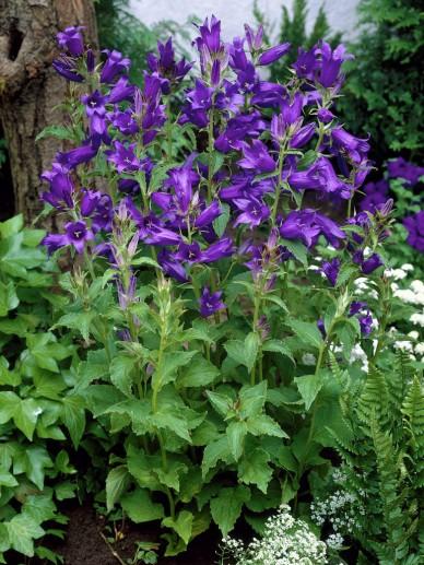 Campanula latifolia var. macrantha - Klokjesbloem