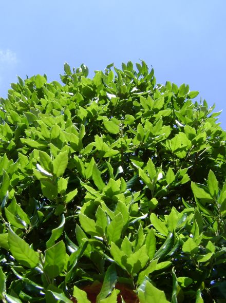 Quercus ilex (Groenblijvende eik, Steeneik)