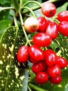 Aucuba japonica 'Variegata' (Japanse broodboom)