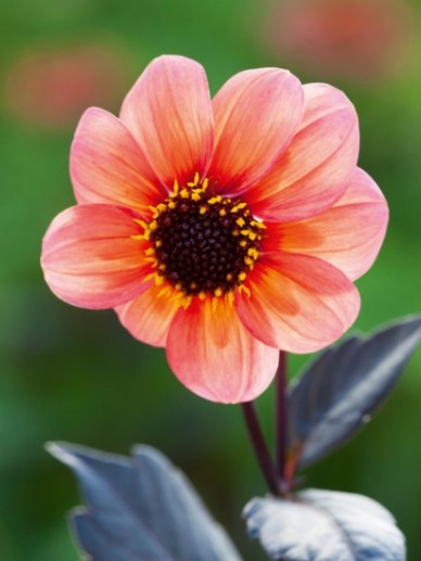 Dahlia 'Happy Single First Love' - Dahlia