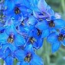 Delphinium 'Blauwal' - Ridderspoor