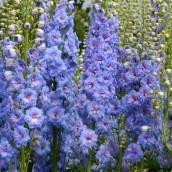 Delphinium elatum 'Blue Lace' (Ridderspoor)