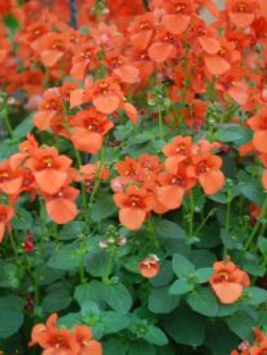 Diascia 'Orange' - Diascia
