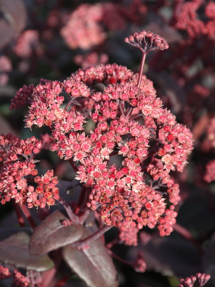 Sedum 'Orange Xenox' - Vetkruid