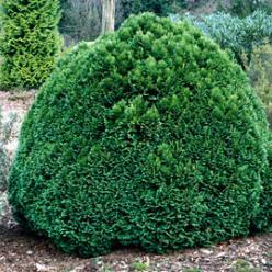 Chamaecyparis lawsoniana 'Green Globe' - Schijncipres