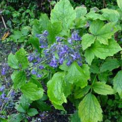 Clematis heracleifolia - Struikclematis