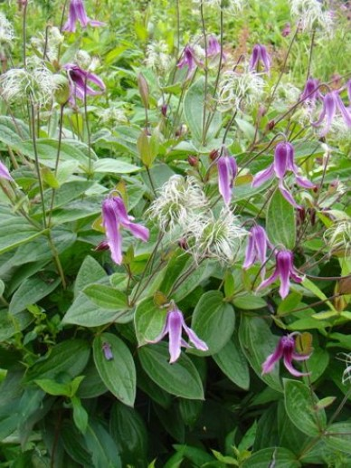 Clematis integrifolia 'Floris V' - Bosrank