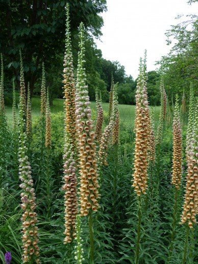 Digitalis ferruginea - Vingerhoedskruid