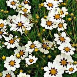 Coreopsis 'Star Cluster' - Meisjesogen