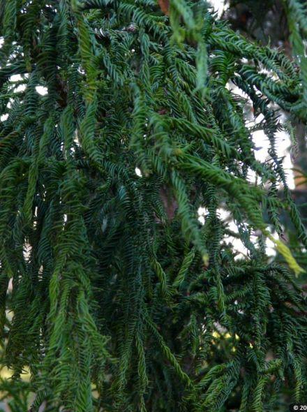 Cryptomeria japonica 'Rasen' (Japanse hanekam, Japanse cipres)