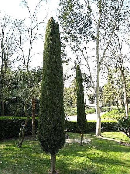 Cupressus sempervirens 'Totem' (Italiaanse cipres)