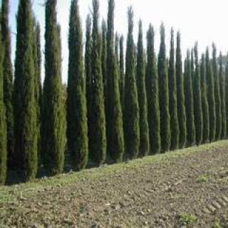 Cupressus sempervirens 'Green Pillar' (Italiaanse cipres)
