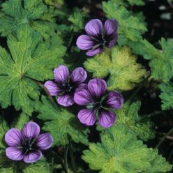 Geranium 'Salomé' - Ooievaarsbek