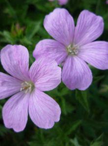 Geranium endressi (Ooievaarsbek)