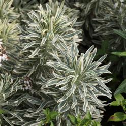 Euphorbia characias 'Tasmanian Tiger' - Wolfsmelk