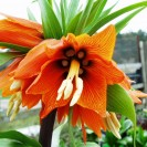 Fritillaria imperialis 'Aurora' - Keizerskroon