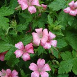 Geranium endressii 'Wargrave Pink' - Ooievaarsbek