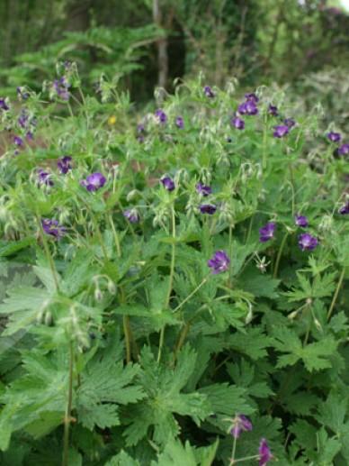 Geranium phaeum 'Lilly Lovell' - Ooievaarsbek