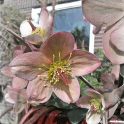 Helleborus 'Purple Haze' - Nieskruid, kerstroos